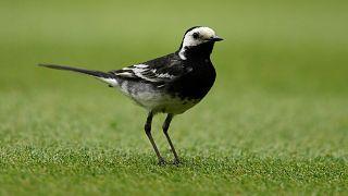 Kuşlar dinleyerek başka kuşların dilini öğreniyor