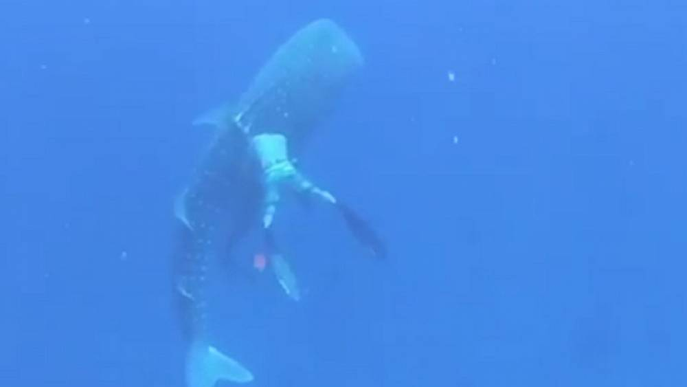 Watch: Family diving trip becomes mission to rescue whale shark