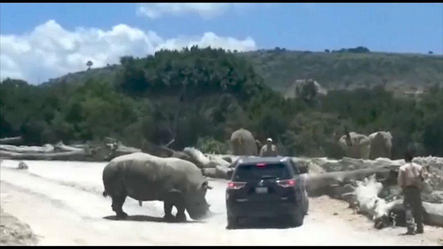 وحيد القرن يصارع سيارة تقل زواراً لحديقة حيوانات في المكسيك