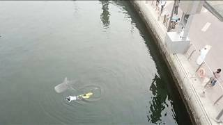 شاهد: إنقاذ قرش حوتي دخل خطأ إلى خور دبي وإعادته إلى مياه الخليج العربي