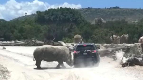 Watch: Rhino attacks vehicle at safari park