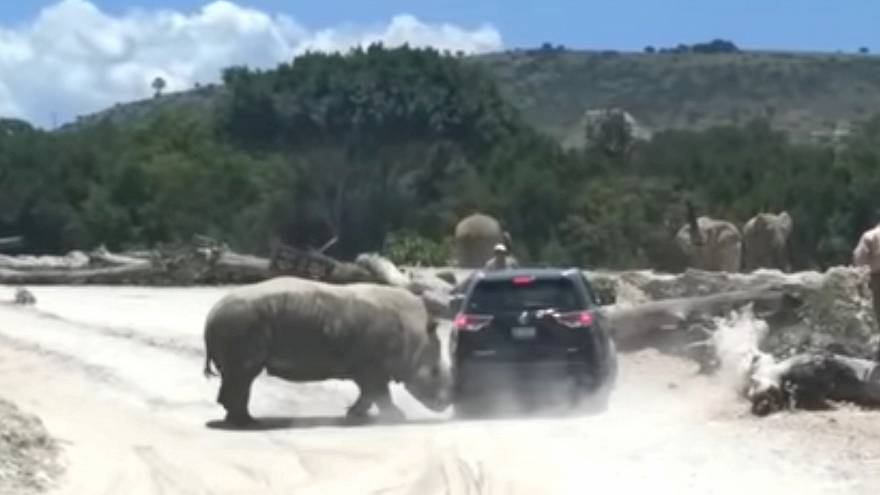 Ataque de un rinoceronte en un safari mexicano