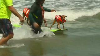 شاهد: البطولة الثالثة لركوب الأمواج للكلاب بكاليفورنيا