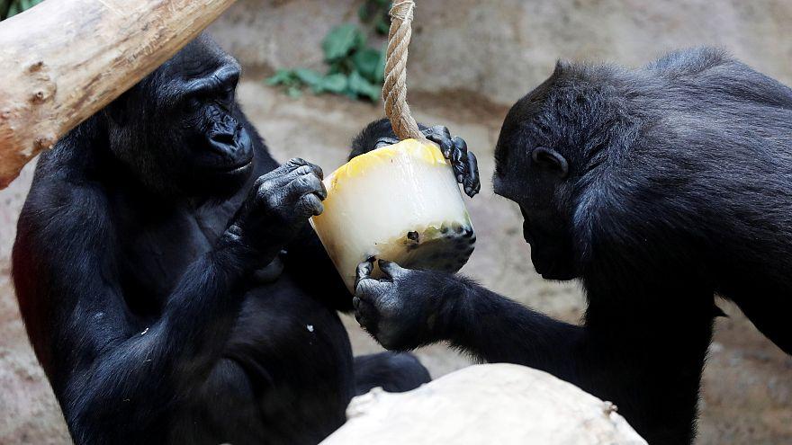 شاهد : الغوريلا تواجه موجة الحر بالفاكهة المثلجة في حديقة حيوان براغ