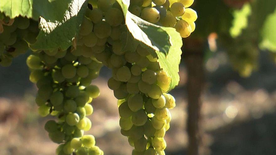 Rheinhessen: Weinlese so früh wie nie