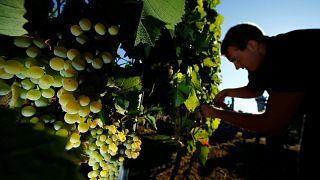 Рекордно ранний урожай винограда