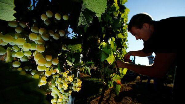 Germany's winemakers relish in heatwave