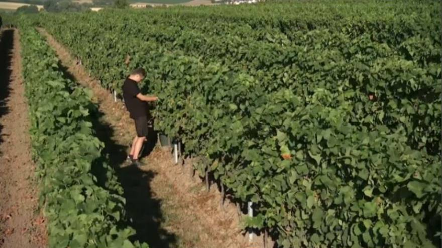 Troppo caldo, vendemmia anticipata in Germania