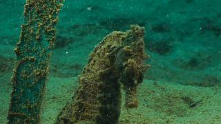 Rara colónia de cavalos marinhos na Grécia