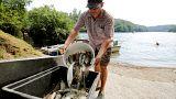 Warmer Rhein: 1000 Kilo toter Fisch
