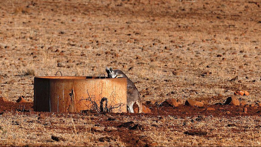 Os cangurus estão a competir com os animais domésticos pela água