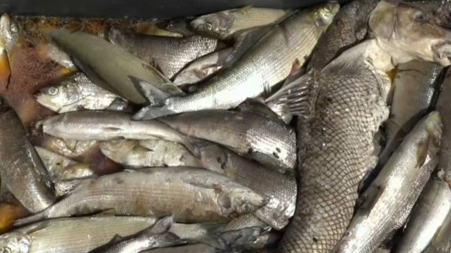 Heatwave: Thousands of dead fish pulled from the River Rhine