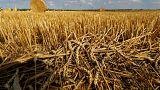 Campo de trigo na Alemanha
