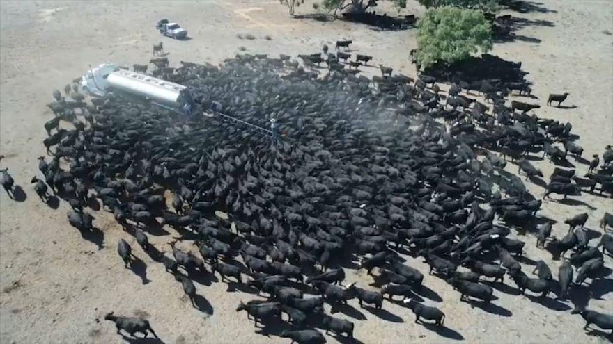 شاهد: شاحنات ملياردير تروي ظمأ الأبقار في أستراليا