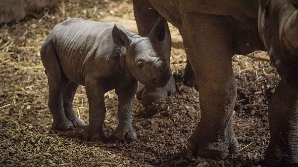 Детеныш черного носорога стоит рядом с матерью
