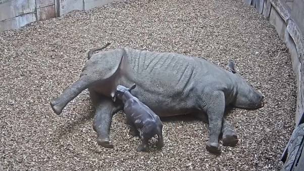 Naissance d'un bébé rhinocéros au zoo de Chester, Angleterre.