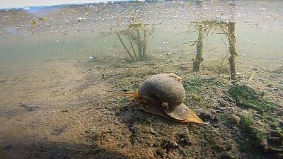 Scientists try seawater to save Europe's rice from rapacious invasive snail