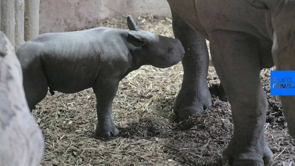 Watch: Rare moment as baby rhino from critically-endangered species is born in England
