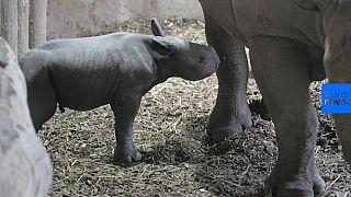 شاهد: رضيع وحيد القرن يخطو خطواته الأولى