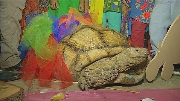 Pakistan'ın Sulcata kaplumbağası 50'nci yaşını kutladı