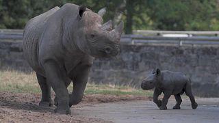 Nashörnchen erkundet die Welt