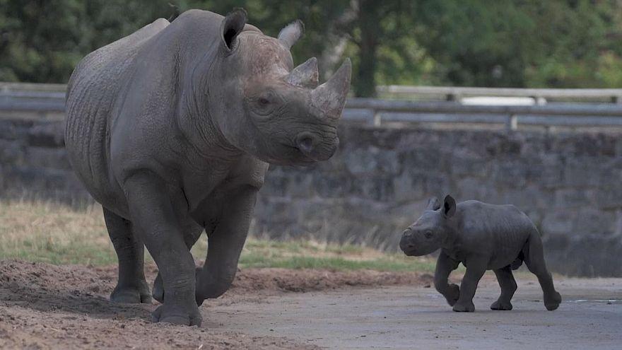 شاهد: طفل وحيد القرن المهدد بالانقراض في حديقة حيوان تشيستر