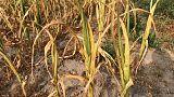 Dürre in Deutschland: 1 Milliarde Hilfen für Bauern wohl nicht genug