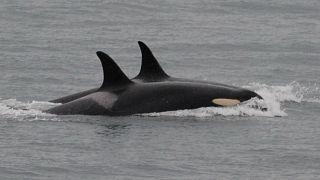 Nach 17 Tagen Trauer: Orca-Mutter lässt totes Baby zurück