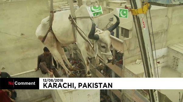 قربانی کردن ۷ گاو به مناسبت عید قربان در پاکستان