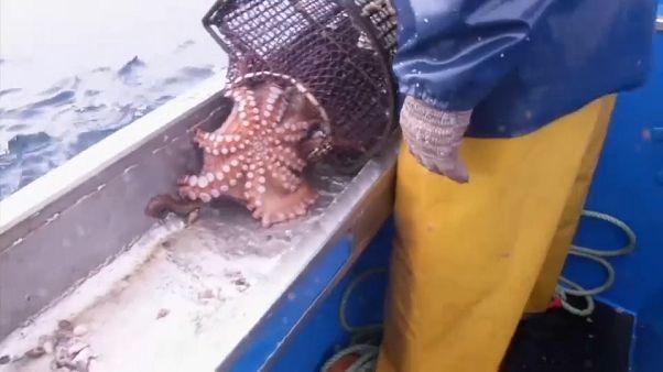 la pesca del polipo in Galizia