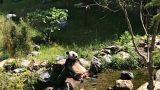 شاهد : الباندا تواجه حرارة الصيف بالاستجمام في الماء المنعش