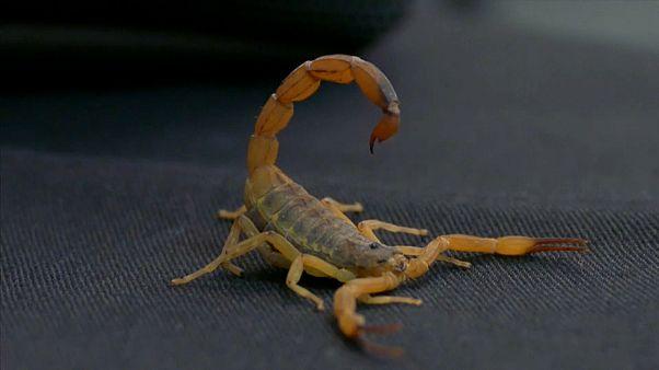 Picadas mortais de escorpião duplicam no Brasil