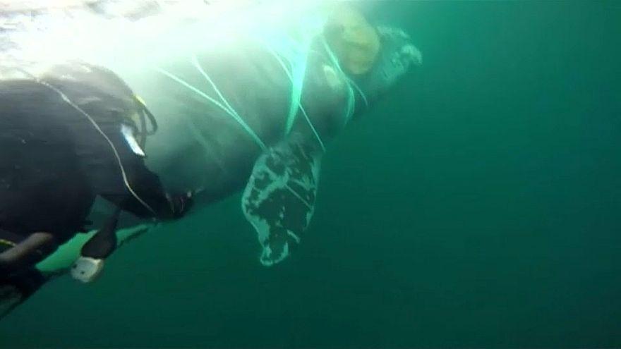 شاهد : إنقاذ حوت عالق في شبكة صيد في تشيلي