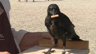 Watch: Crows trained to collect cigarette butts in French theme park