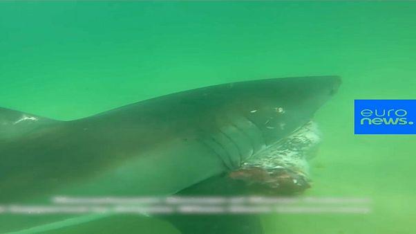 شاهد : هجوم دموي لقرش أبيض كبير يفترس فقمة