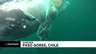 Resgatada baleia presa em rede de pesca
