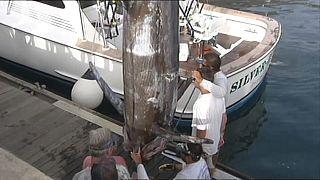 Espadarte-azul de 366 quilos pescado ao largo da Madeira