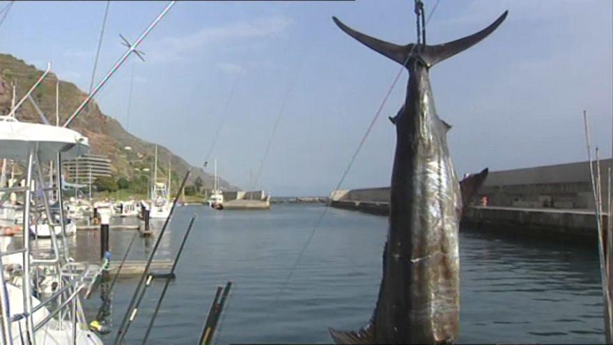 Um espadarte-azul de 366 quilos na Madeira