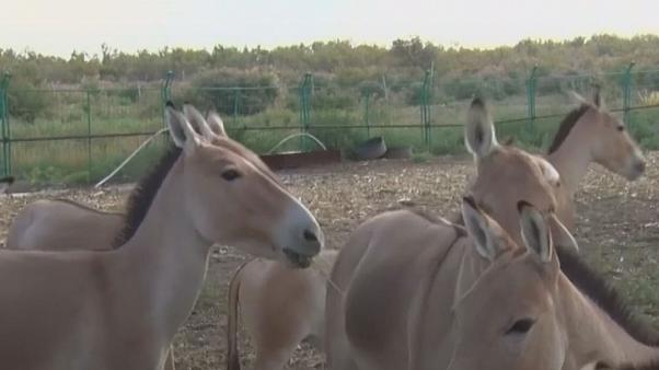 Watch: Endangered wild donkeys reappear in northwest China