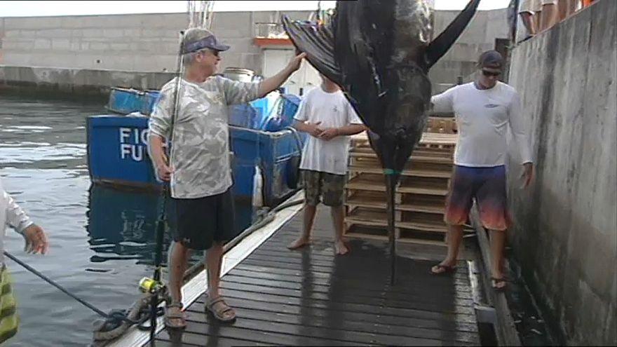 Rekord-Fang: 366 Kilo-Marlin vor Madeira
