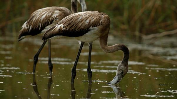 Watch: Abnormal Spanish weather causes flamingo births to soar
