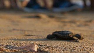 Nesli koruma altındaki kaplumbağaların yavruları yumurtadan çıktı