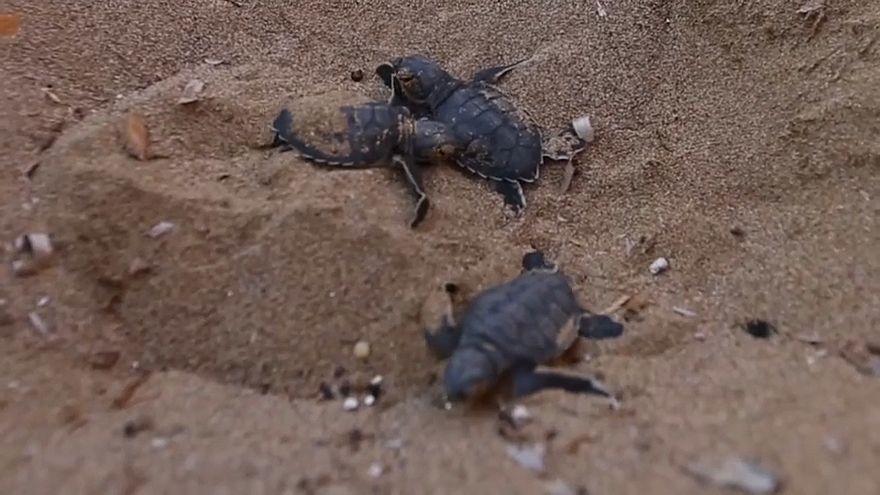 جهود حماية السلاحف الخضراء في قبرص تكلل بالنجاح