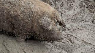 Schweinepest: Zaun an deutsch-dänischer Grenze