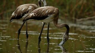В Испании родилось рекордное число фламинго