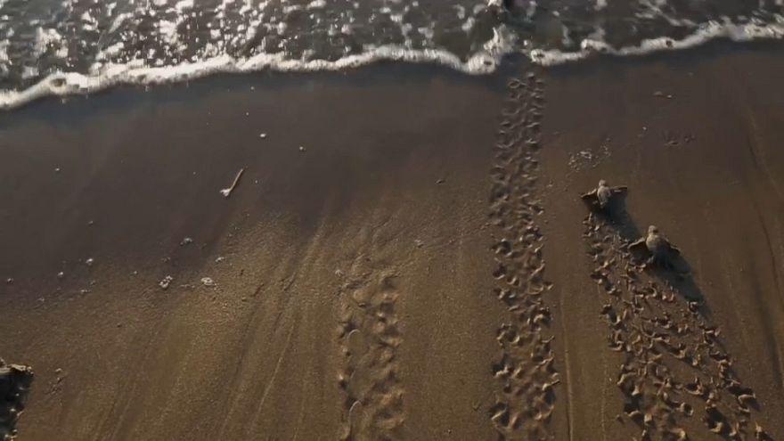 Angst vorm Fuchs: Schildkrötenbabies auf Zypern erhalten Schutz