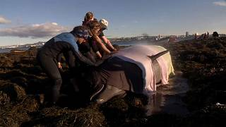 شاهد : محاولة إنقاذ حوتين على أحد شواطئ آيسلندا