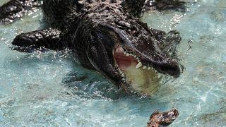 تمساح در کارولینای جنوبی جان یک زن جوان را گرفت