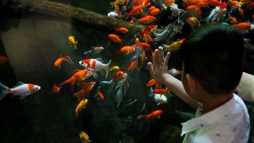 A Paris, un refuge pour les poissons rouges