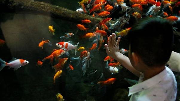 young boy watches a goldfish aquarium at The Paris Aquarium.
